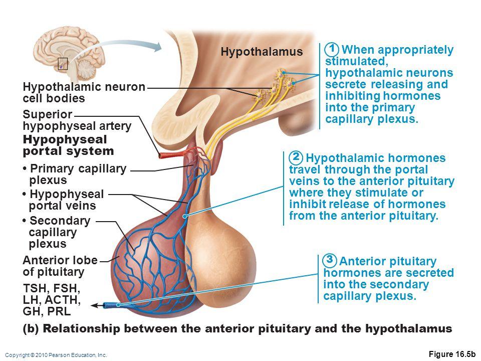 Hypothalamic hormones travel through the portal