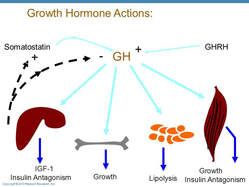 + - GH + Growth Hormone Actions: Somatostatin GHRH IGF-1 Growth