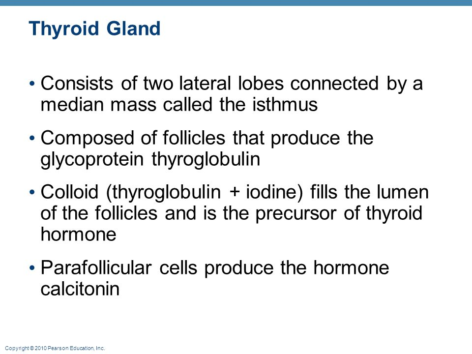Thyroid Gland Consists of two lateral lobes connected by a median mass called the isthmus.