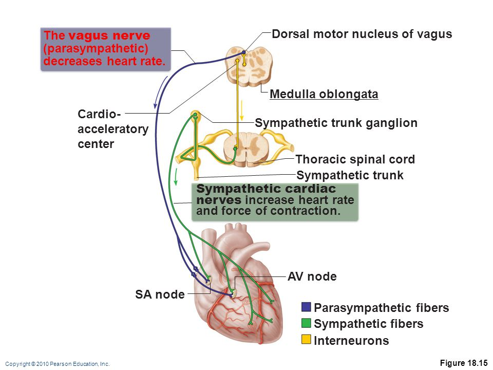 Dorsal motor nucleus of vagus The vagus nerve (parasympathetic)