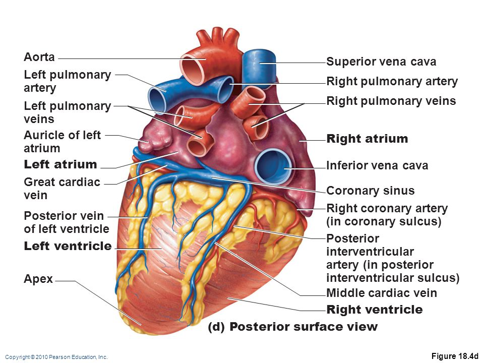 (d) Posterior surface view Aorta Left pulmonary artery