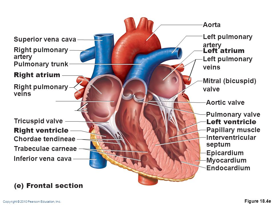 Aorta Left pulmonary artery Left atrium veins Mitral (bicuspid) valve