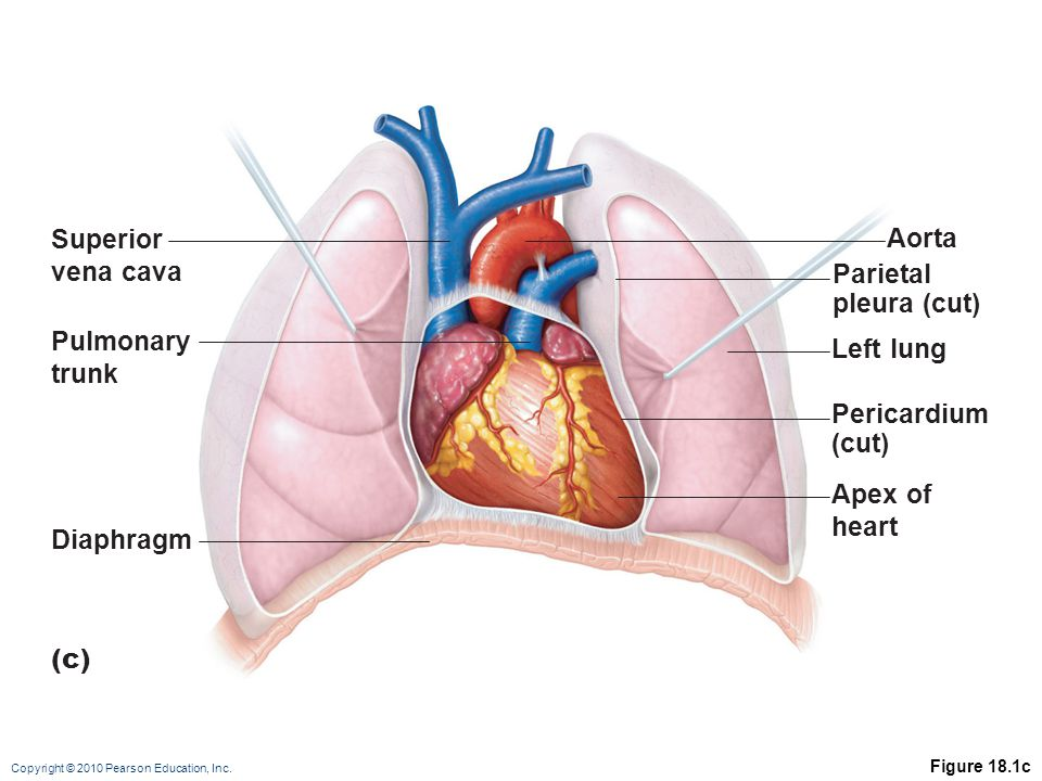 Superior Aorta vena cava Parietal pleura (cut) Pulmonary Left lung