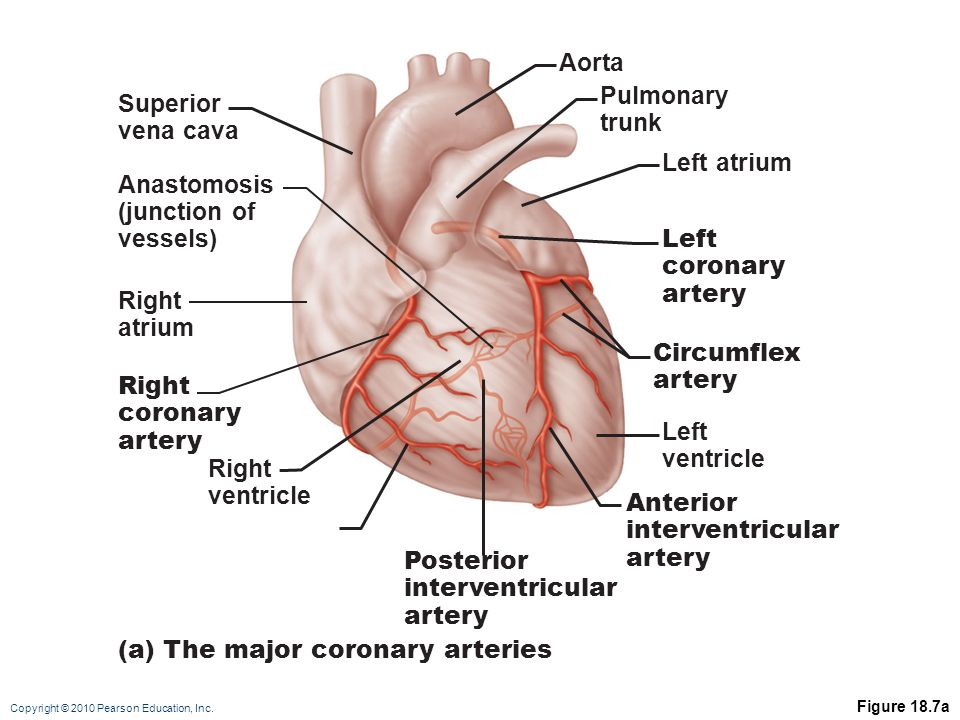 (a) The major coronary arteries Left atrium Pulmonary trunk