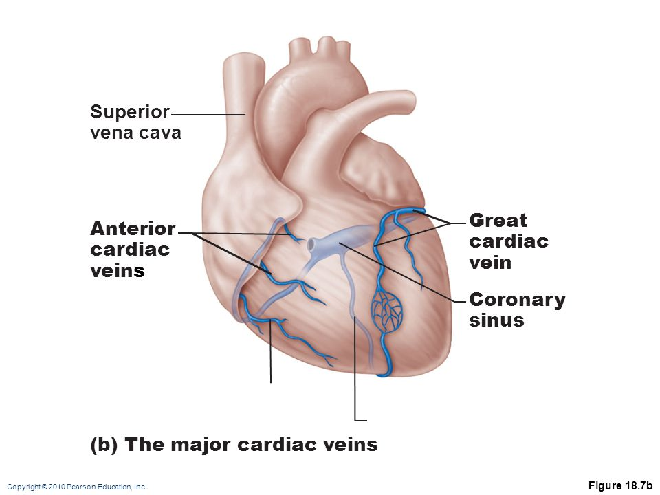 (b) The major cardiac veins