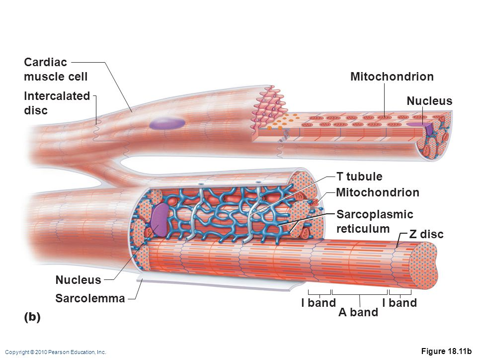 Cardiac muscle cell Mitochondrion Intercalated disc Nucleus T tubule