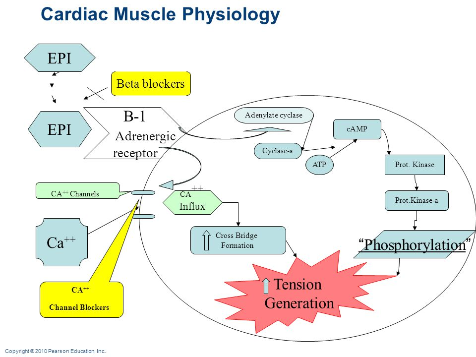 Cardiac Muscle Physiology