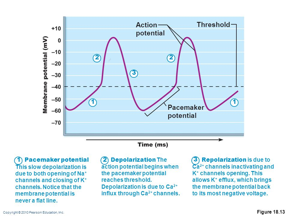 Action potential Threshold Pacemaker potential 2 2 3 1 1 1 2 3