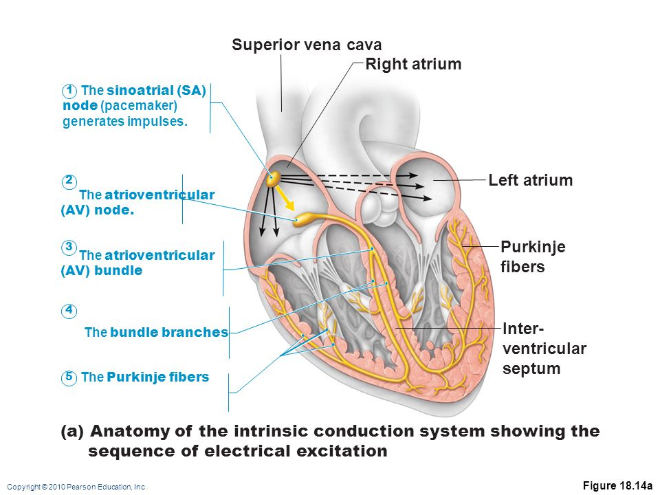 (a) Anatomy of the intrinsic conduction system showing the