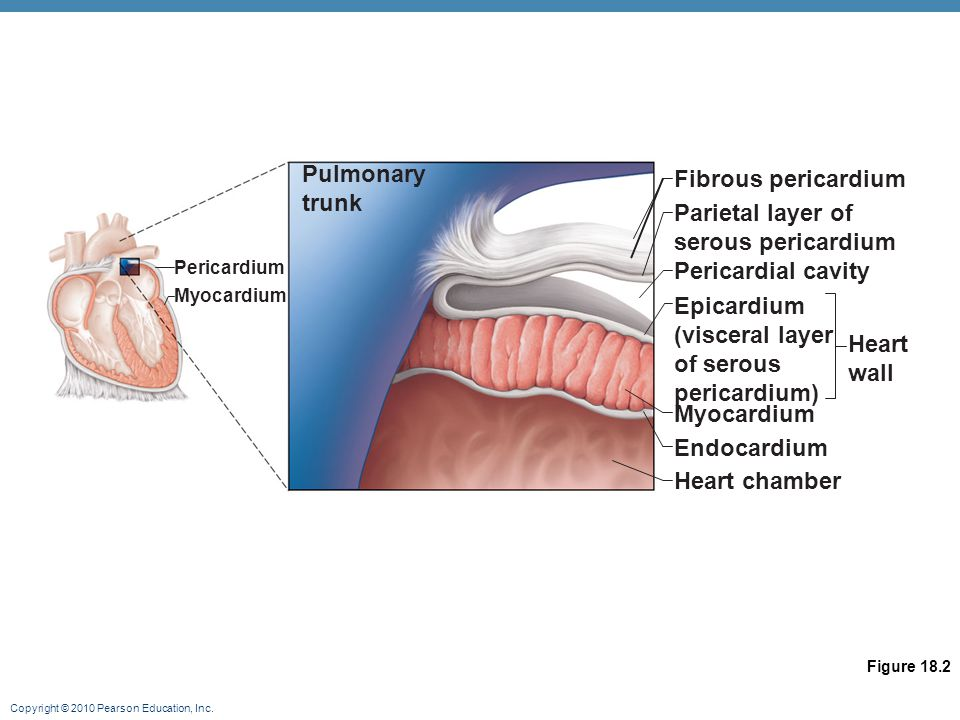 Pulmonary Fibrous pericardium trunk Parietal layer of