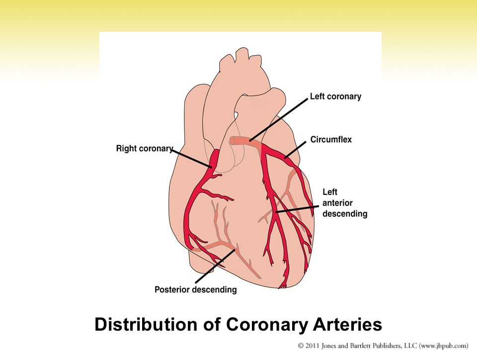 Distribution of Coronary Arteries