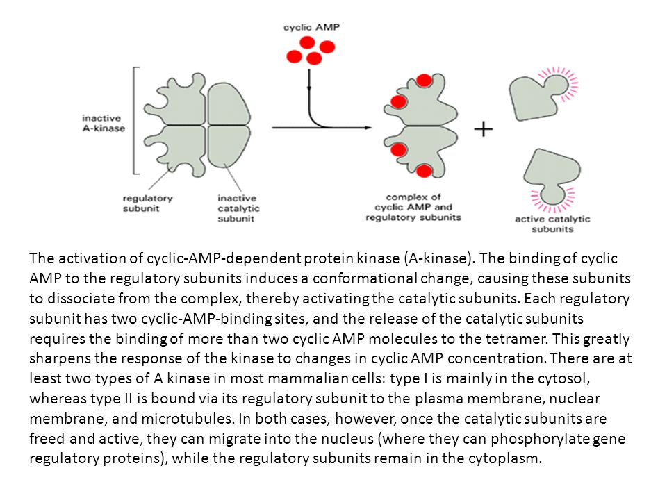 The activation of cyclic-AMP-dependent protein kinase (A-kinase)