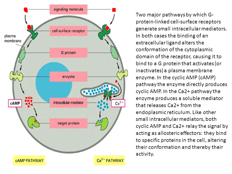 Two major pathways by which G-protein-linked cell-surface receptors generate small intracellular mediators. In both cases the binding of an extracellular ligand alters the conformation of the cytoplasmic domain of the receptor, causing it to bind to a G protein that activates (or inactivates) a plasma membrane enzyme. In the cyclic AMP (cAMP) pathway the enzyme directly produces cyclic AMP. In the Ca2+ pathway the enzyme produces a soluble mediator that releases Ca2+ from the endoplasmic reticulum. Like other