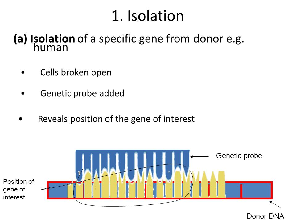 1. Isolation (a) Isolation of a specific gene from donor e.g. human