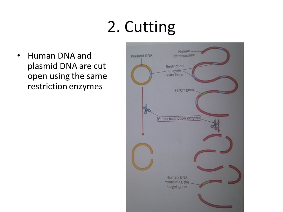 2. Cutting Human DNA and plasmid DNA are cut open using the same restriction enzymes.