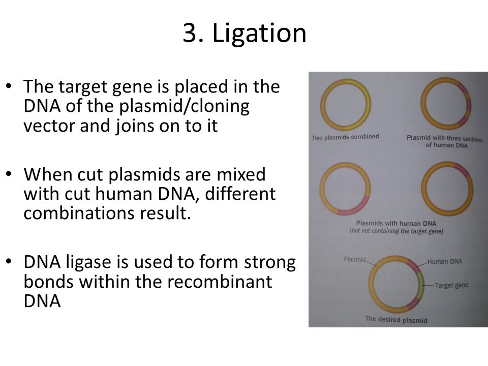 3. Ligation The target gene is placed in the DNA of the plasmid/cloning vector and joins on to it.