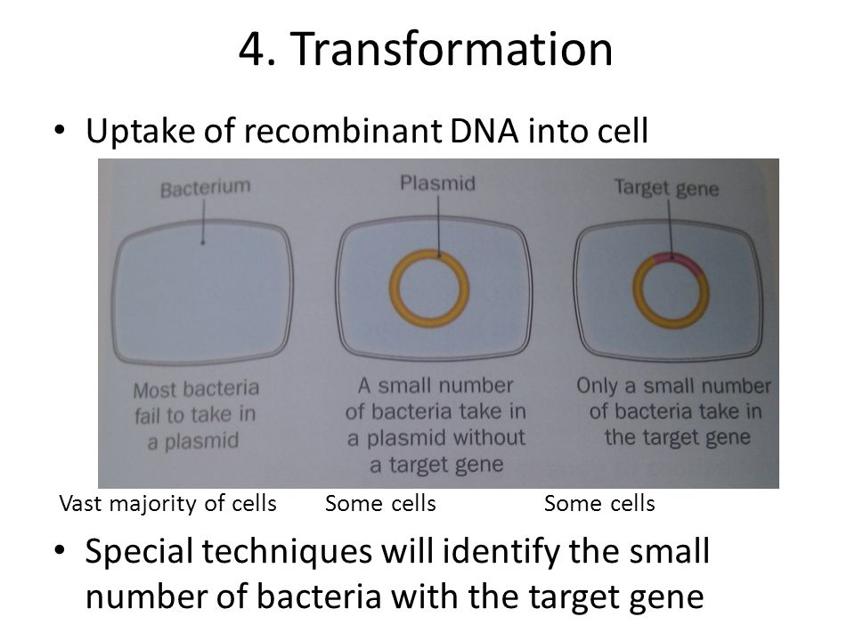 4. Transformation Uptake of recombinant DNA into cell