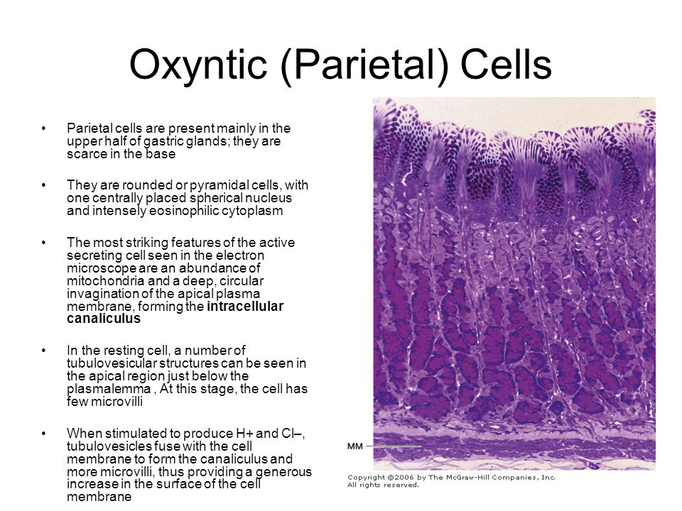 Oxyntic (Parietal) Cells