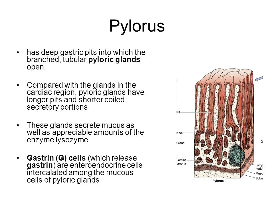 Pylorus has deep gastric pits into which the branched, tubular pyloric glands open.