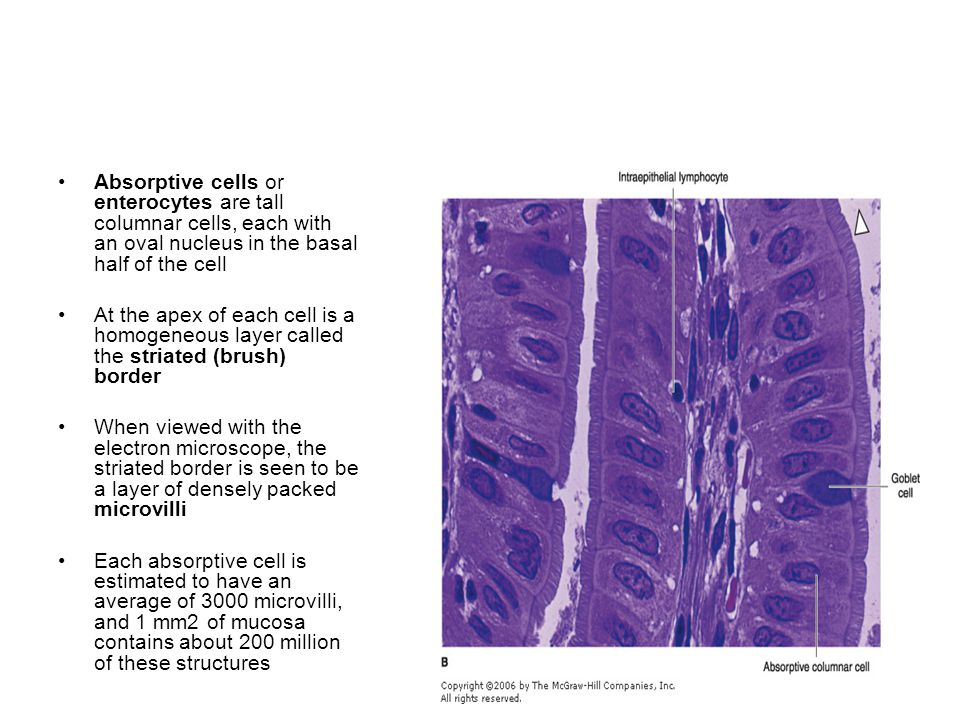 Absorptive cells or enterocytes are tall columnar cells, each with an oval nucleus in the basal half of the cell