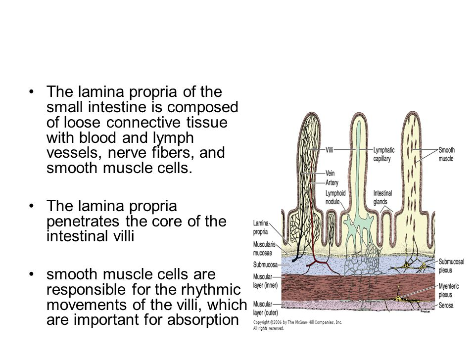 The lamina propria of the small intestine is composed of loose connective tissue with blood and lymph vessels, nerve fibers, and smooth muscle cells.