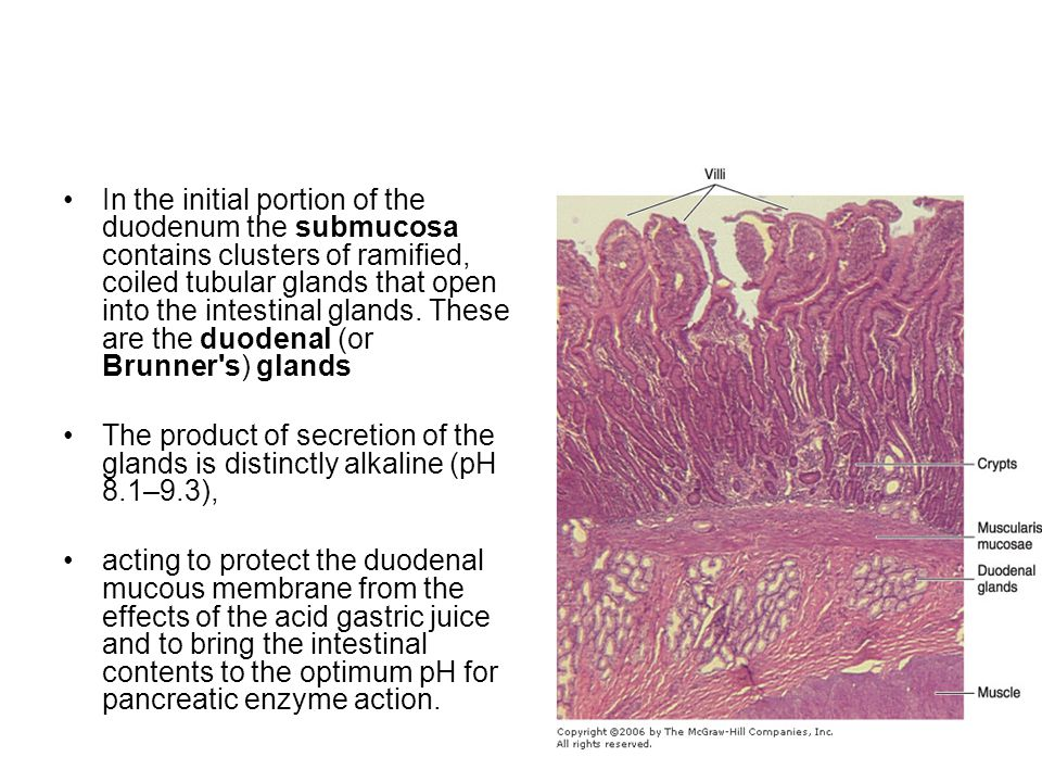In the initial portion of the duodenum the submucosa contains clusters of ramified, coiled tubular glands that open into the intestinal glands. These are the duodenal (or Brunner s) glands