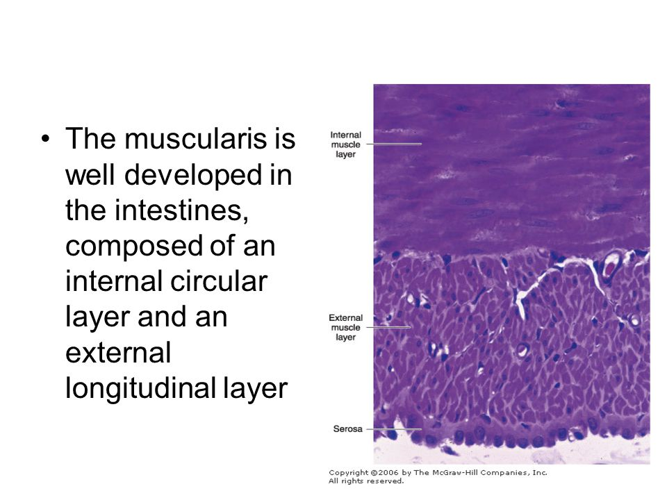 The muscularis is well developed in the intestines, composed of an internal circular layer and an external longitudinal layer