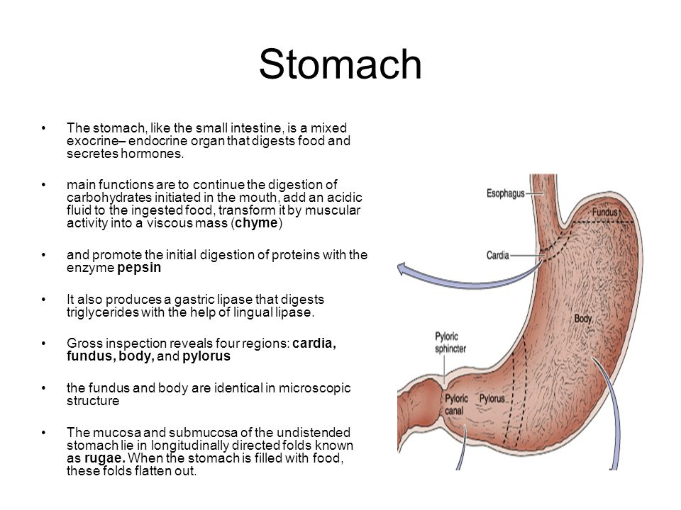 Stomach The stomach, like the small intestine, is a mixed exocrine– endocrine organ that digests food and secretes hormones.
