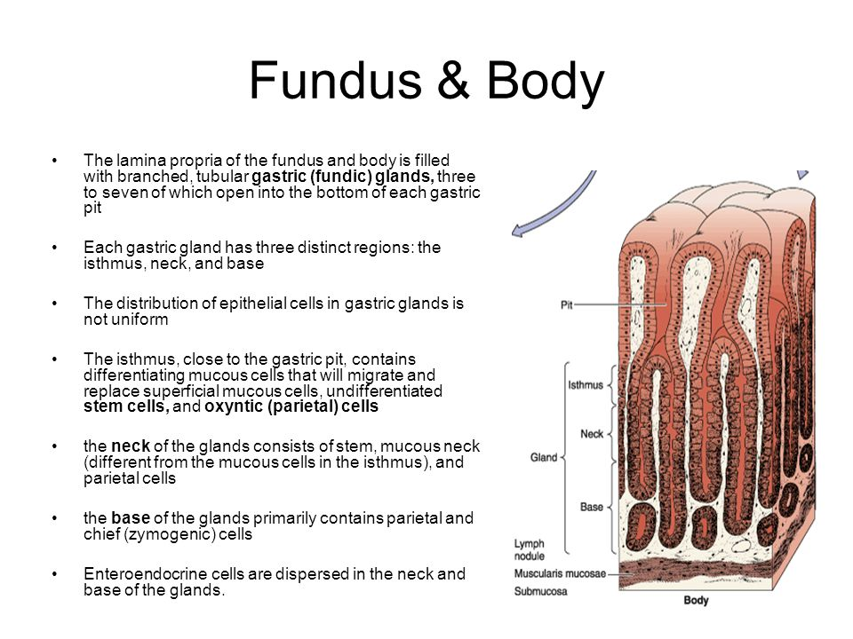 Fundus & Body