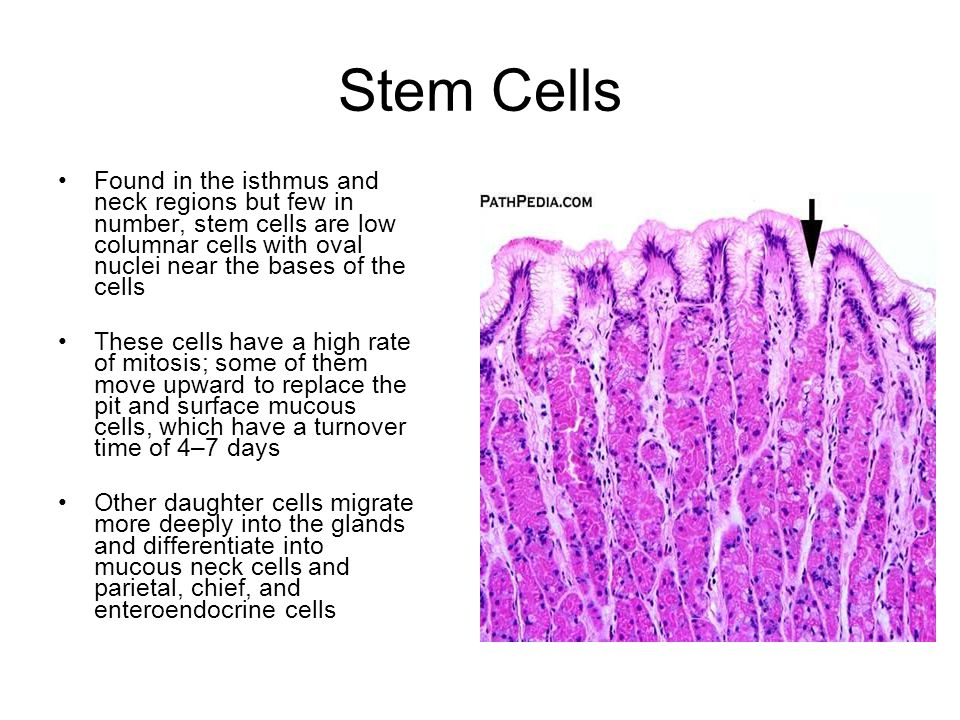 Stem Cells Found in the isthmus and neck regions but few in number, stem cells are low columnar cells with oval nuclei near the bases of the cells.