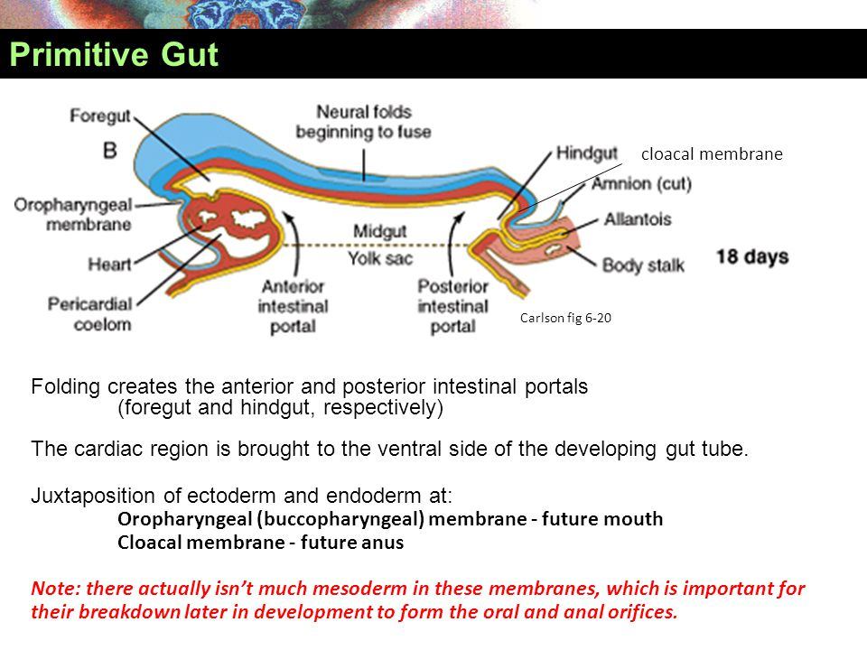 Primitive Gut cloacal membrane. Carlson fig 6-20. Folding creates the anterior and posterior intestinal portals.