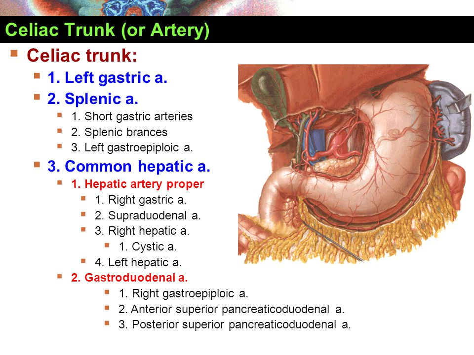 Celiac Trunk (or Artery)