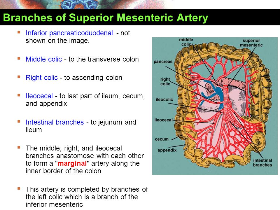 Branches of Superior Mesenteric Artery