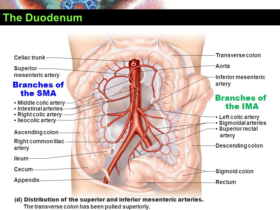 The Duodenum Branches of the SMA Branches of the IMA Transverse colon