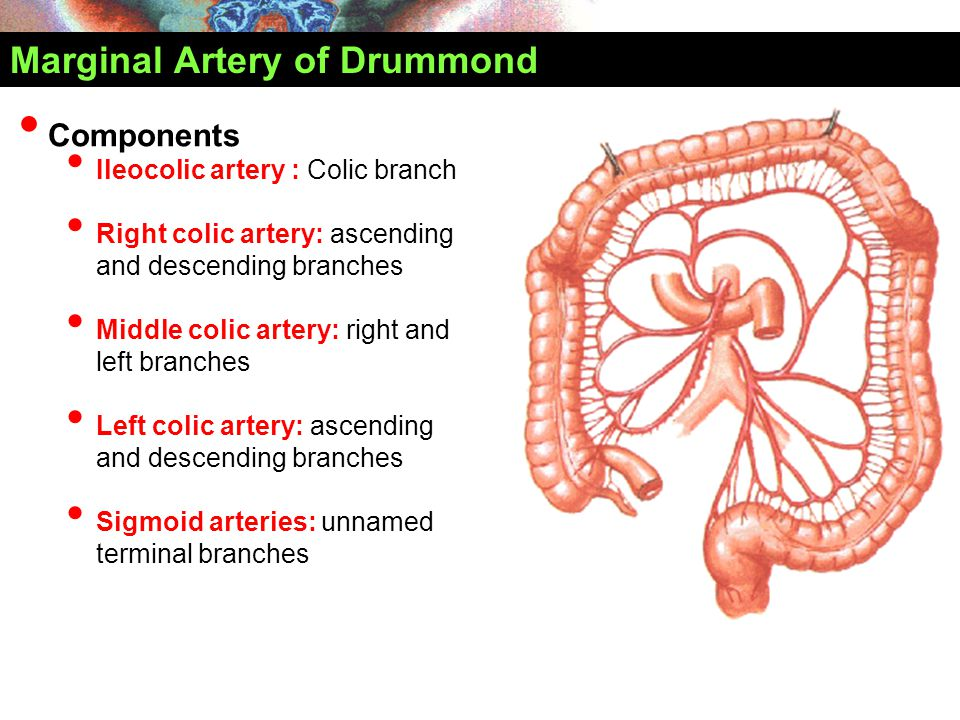 Marginal Artery of Drummond