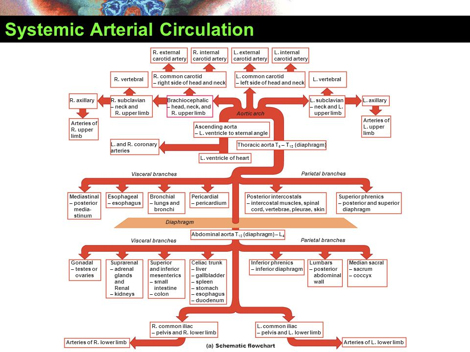 Systemic Arterial Circulation