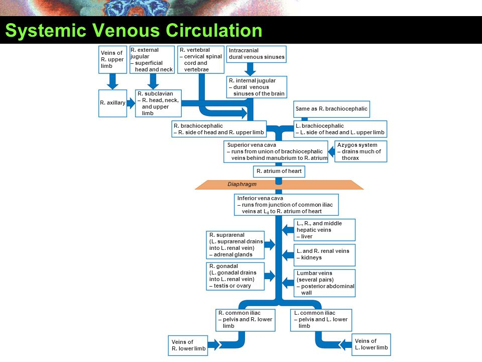Systemic Venous Circulation