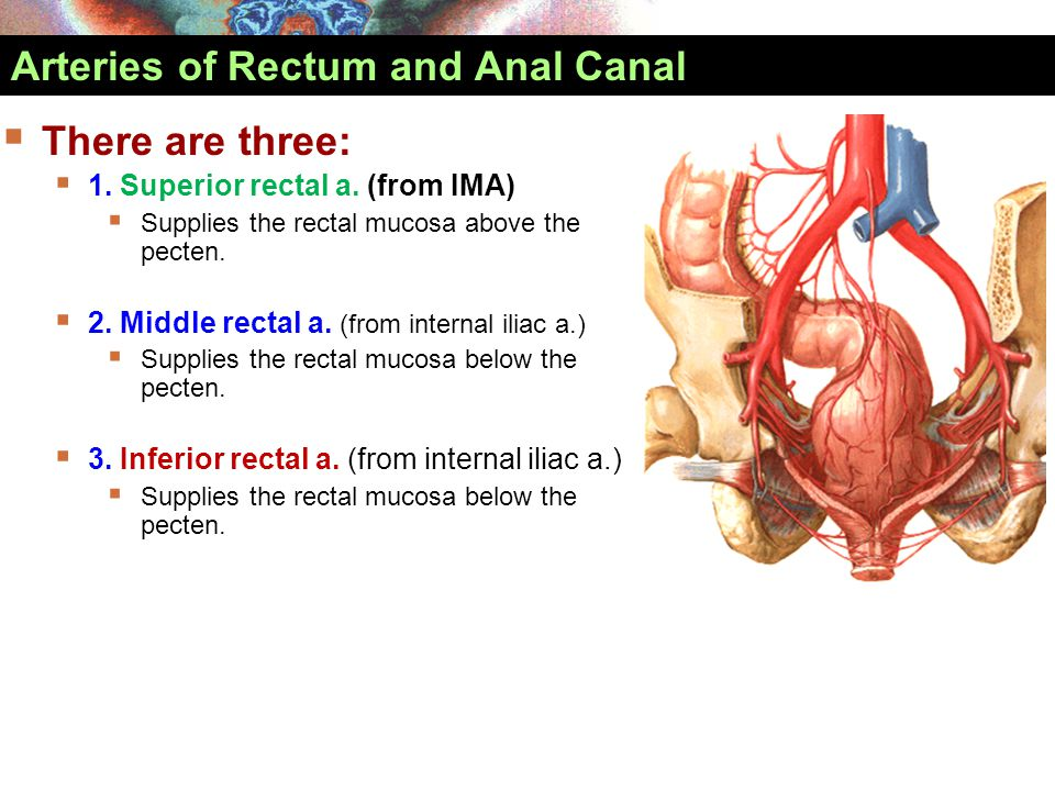 Arteries of Rectum and Anal Canal