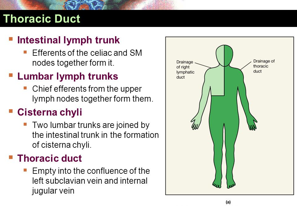 Thoracic Duct Intestinal lymph trunk Lumbar lymph trunks