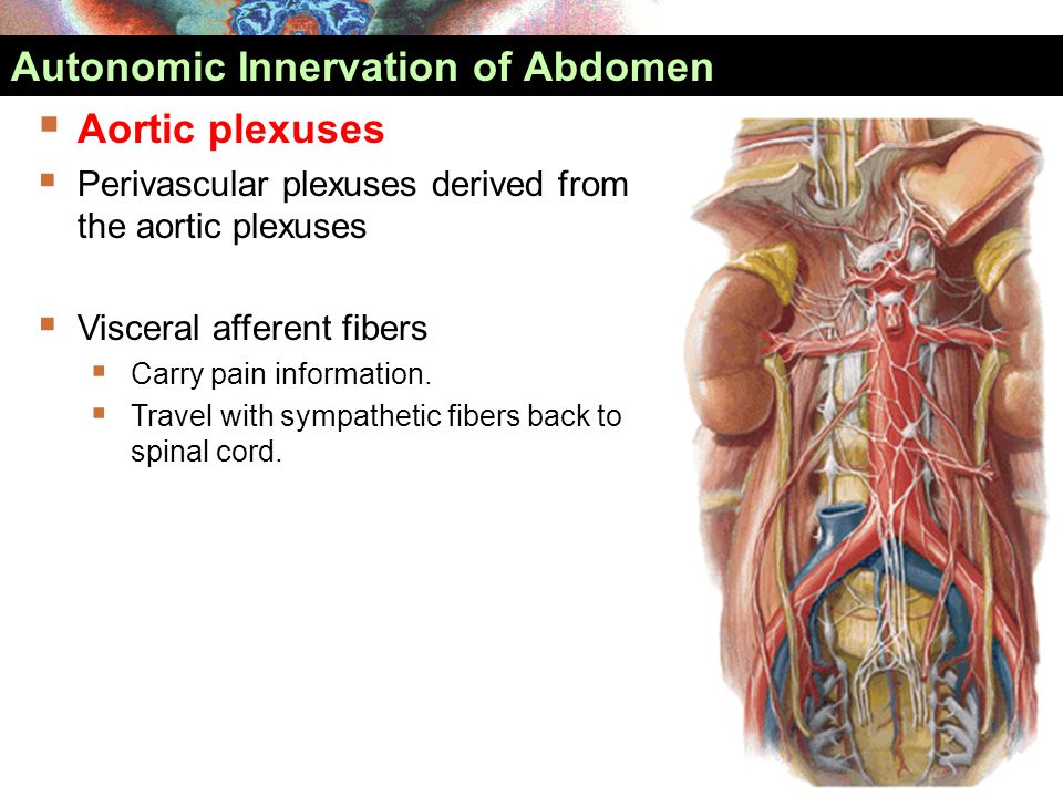 Autonomic Innervation of Abdomen