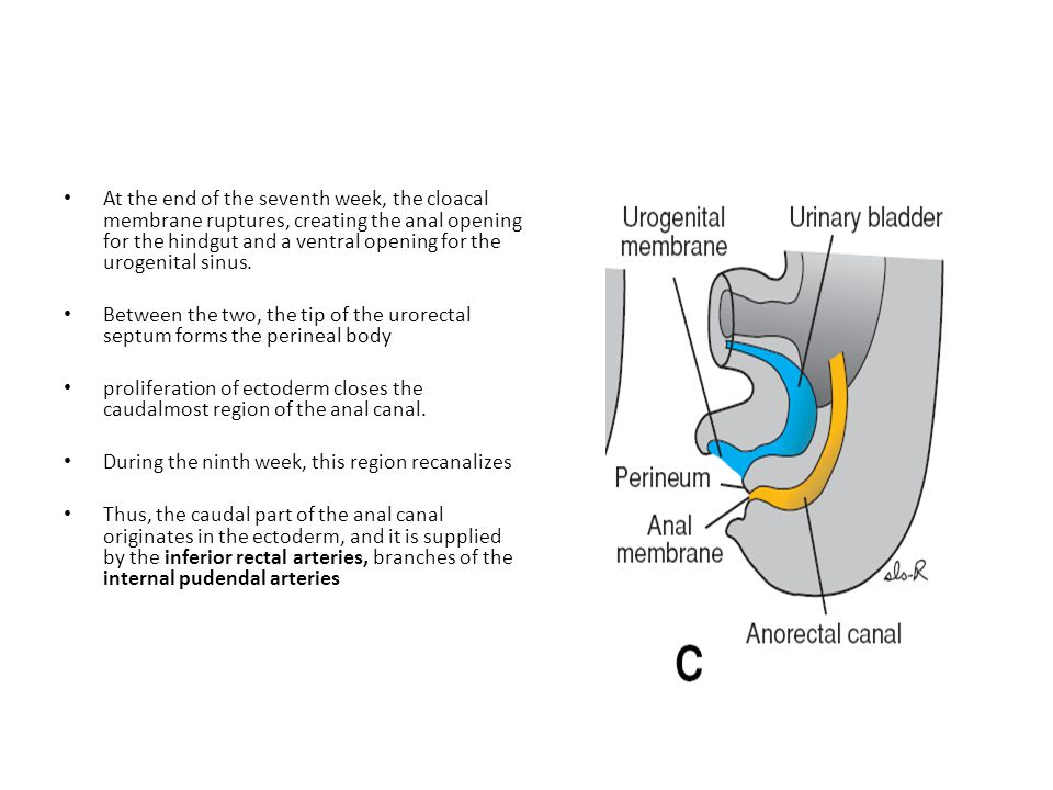 At the end of the seventh week, the cloacal membrane ruptures, creating the anal opening for the hindgut and a ventral opening for the urogenital sinus.