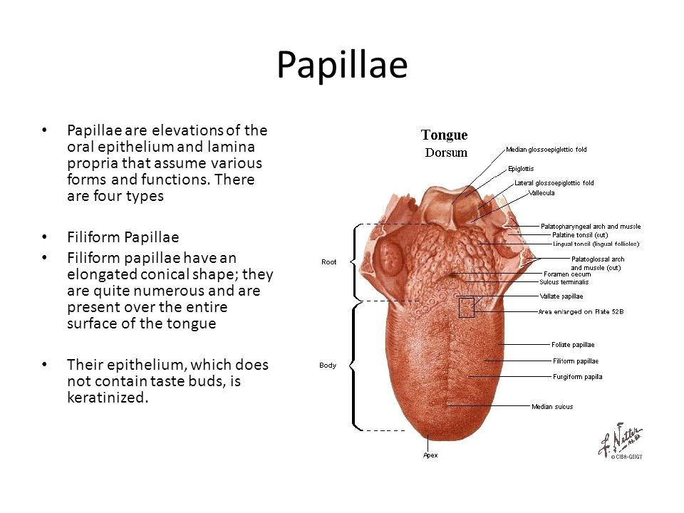 Papillae Papillae are elevations of the oral epithelium and lamina propria that assume various forms and functions. There are four types.