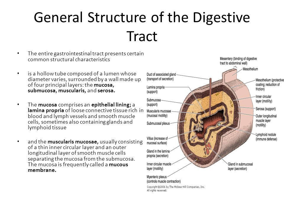 General Structure of the Digestive Tract