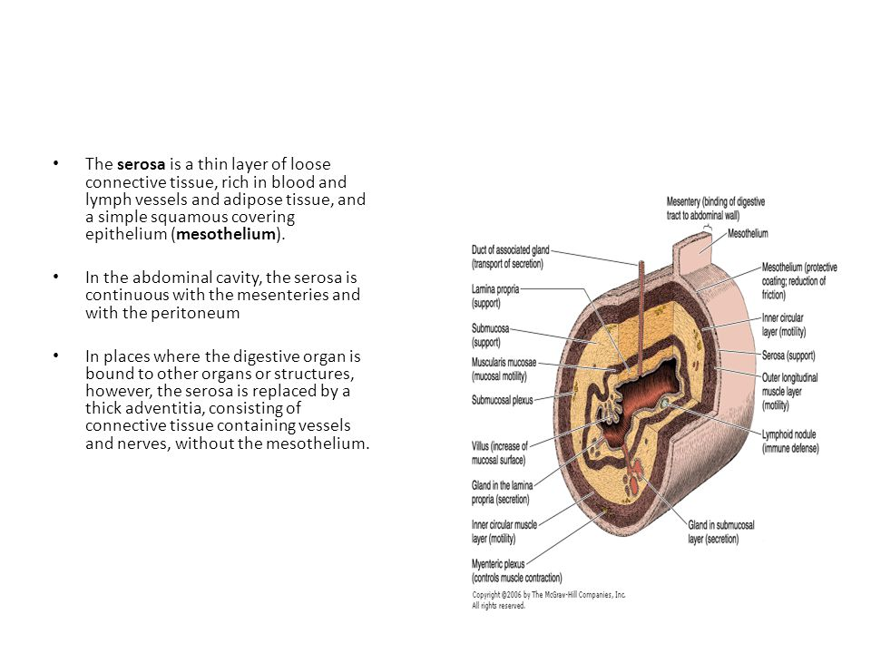 The serosa is a thin layer of loose connective tissue, rich in blood and lymph vessels and adipose tissue, and a simple squamous covering epithelium (mesothelium).