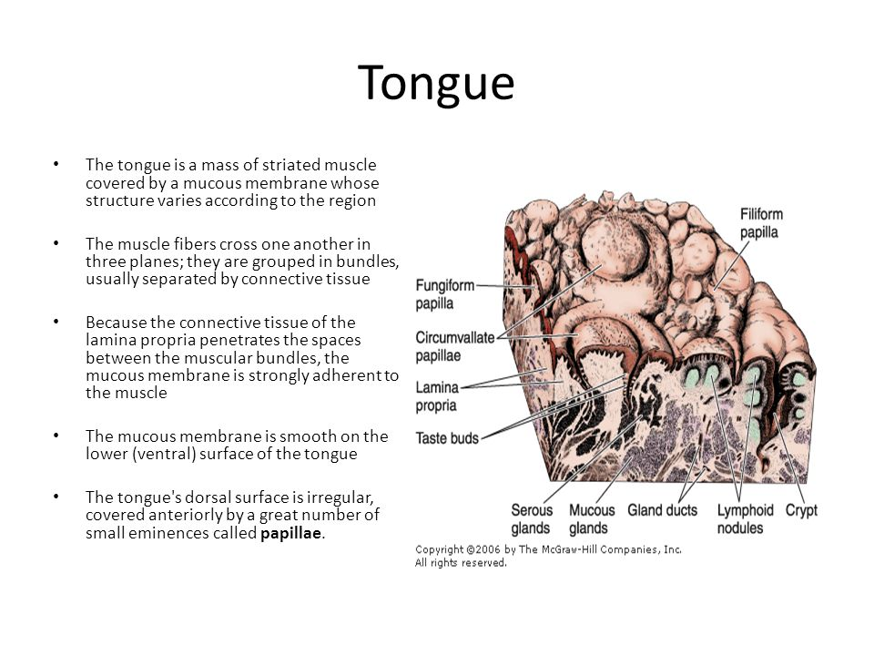 Tongue The tongue is a mass of striated muscle covered by a mucous membrane whose structure varies according to the region.
