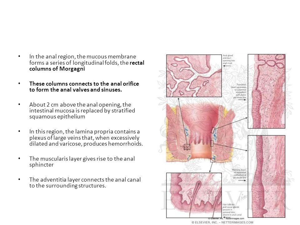 In the anal region, the mucous membrane forms a series of longitudinal folds, the rectal columns of Morgagni