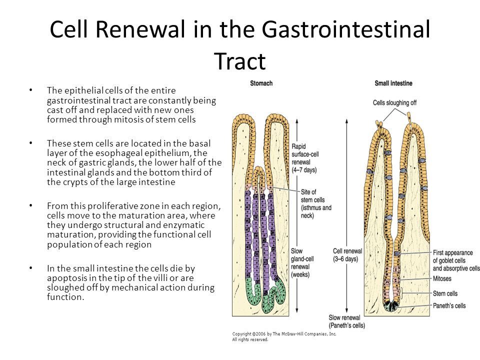 Cell Renewal in the Gastrointestinal Tract