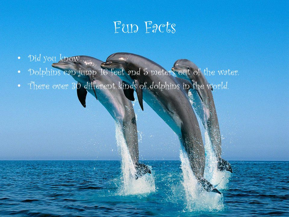 Fun Facts Did you know ….. Dolphins can jump 16 feet and 5 meters out of the water.