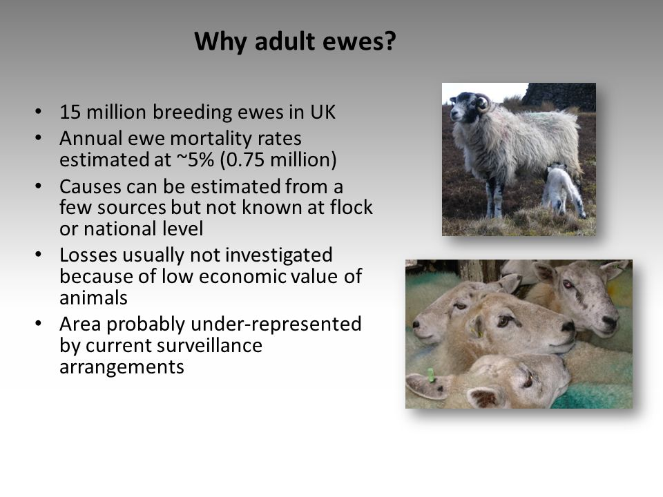 Why adult ewes 15 million breeding ewes in UK