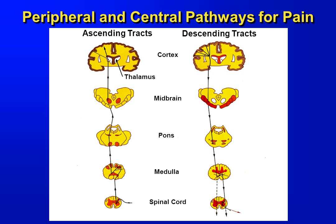 Peripheral and Central Pathways for Pain